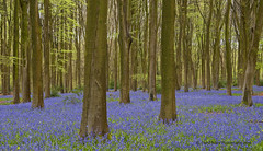 Micheledever Bluebells, Hampshire (Daryl 1988) Tags: wood flowers trees forest landscape photography hampshire blubells bluebellwood micheledever
