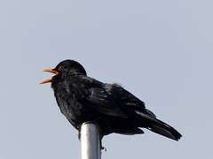 Blackbirds song (BrigitteE1) Tags: bird germany europe turdusmerula blackbird amsel specanimal blackbirdssong