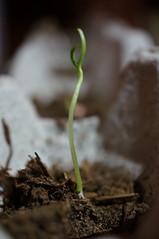(Carlos Laya) Tags: garden plantas shoot vegetable paprika sprout siembra sowing retoo pimentn huerto