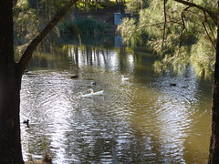 Werrington Creek (tessab101) Tags: lake water birds creek nsw waterfowl region coot penrith werrington