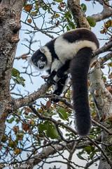 MarcTailly_mgb201509015088.jpg (hayastanlover) Tags: animals lemur mammals madagascar dieren primates primaten zoogdieren