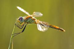 2015_IMG_2059 (niek haak) Tags: dragonflies dragonfly odonata libel sympetrumfonscolombii zwervendeheidelibel
