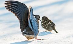 Dove Landing (Family Man Studios) Tags: winter snow nature birds canon wildlife snowstorm delaware newark newarkdelaware backyardbirds 70d winterscenery delawareonline dougholveck