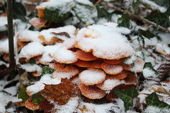 Flammulina velutipes V (Marcell Krpti) Tags: autumn winter orange mushroom flora hungary bright fungi fungus shroom sopron magyarorszg enoki agaricales flammulinavelutipes velvetstem marasmiaceae wintermushroom velvetfoot tliflke collybiavelutipes