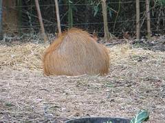 Capybara (kirijun) Tags: nature animals wildlife capybara saintlouiszoo