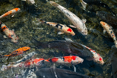 Carps at Eikando Temple (Mariano Carles) Tags: geotagged temple kyoto august carps carp eikando 2015 nx300m