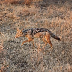 Side-striped jackals feed exclusively on fruit when in season, but go after small game when not available. #Africa #Tanzania #safari #travel #nature #animal #wildlife #animallovers