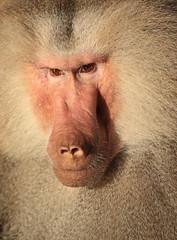 Hamadryas baboon Emmen JN6A8733 (j.a.kok) Tags: baboon emmen baviaan hamadryasbaboon papiohamadryas mantelbaviaan