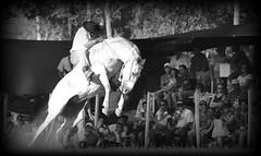 El clinero (Eduardo Amorim) Tags: horses horse southamerica criollo caballo uruguay cheval caballos cavalos pferde cavalli cavallo cavalo gauchos pferd hest hevonen chevaux gaucho  amricadosul hst uruguai gacho  amriquedusud  gachos  sudamrica suramrica amricadelsur  sdamerika crioulo caballoscriollos criollos jineteada   cerrolargo americadelsud gineteada  crioulos cavalocrioulo americameridionale caballocriollo eduardoamorim cavaloscrioulos  pasodeldragn plcidorosas