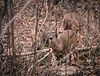 Oh, hello there! (Sara Fruehe) Tags: deer woods indiana iu canon indianauniversity oldcampus winter animal sticks