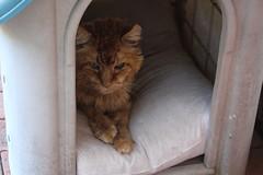 IMG_4863 Neko in her house (drayy) Tags: orange cat mainecoon neko ggg oreengeness velvetpaws thebiggestgroupwithonlycats