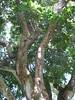 starr-091104-9049-Castanospermum_australe-canopy-Kahanu_Gardens_NTBG_Kaeleku_Hana-Maui (Starr Environmental) Tags: castanospermumaustrale