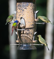 Painted Buntings on Feeder (BobHartmannPhotography) Tags: usa bird birds landscape wildlife everglades fl 365 1365 bobhartmann wwwbobhartmanncom bobhartmannphotography bobhartmanncom bbobhartmann