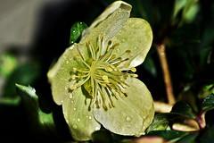 ~~L' Ellbore qui en a marre de la pluie  !~~ (Jolisa) Tags: macro yellow jaune pluie gouttelettes llbore fvrier2016