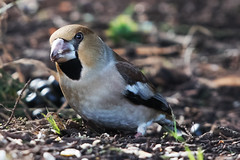 Hawfinch (Coccothraustes coccothraustes) (drbut) Tags: bird nature animal outdoor wildlife gloucestershire forestofdean parkend hawfinch coccothraustescoccothraustes