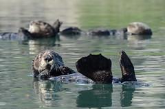 Southern Sea Otter (Enhydra lutris nereis) DDZ_5801 (NDomer73) Tags: mammal december best otter seaotter better elkhornslough 2015 californiaseaotter southernseaotter 17december2015