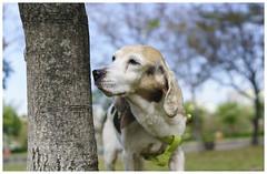 Mina (MissingBeagle) Tags: dog beagle sony 28mm f2 fe ilce a5100