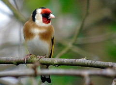 Goldfinch (samm.doyle) Tags: bird nature gold colours vibrant wildlife goldfinch reserve hampshire finch swanwick hiwwt