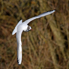 Obtuse (Hare and Fox Photography) Tags: trees winter bird nature sunshine outside outdoors wings warm angle background wildlife seagull gull waterbird february wingspan avian larusridibundus obtuse blackheadedgull birdinflight winterplumage charnwoodwater nikond5100 february2016