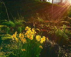 Sunbeams (Steve-h) Tags: park flowers ireland winter dublin orange plants sun green nature beautiful sunshine yellow bronze contraluz outdoors gold amazing bed shadows bright gorgeous border blossoms sunny flowerbed shade february fabulous sunrays beauties brightness narcissi daffodils allrightsreserved backlighting sunbeams ststephensgreen contrajour 2016 iphonography steveh appleiphone6s