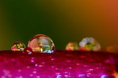 En attendant les reflets... (Dolkar-photographe...) Tags: fleurs reflets rflection rose gouttelettes lesmatinales