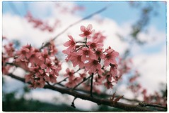Happy Lunar New Year! (Khnh Hmoong) Tags: pink flower film analog 35mm cherry photography spring flora blossom sakura analogue fujisuperia200 nikonfm