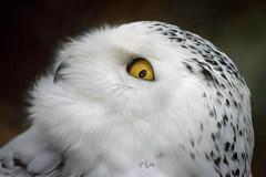 2016 Hedwig (jeho75) Tags: sony ilce 7m2 rmc 500mm f8 schneeeule christianental wernigerode hedwig tokina wow