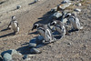 Penguins, Isla Magdalena, Chile (silkylemur) Tags: ocean chile cruise sea patagonia seascape southamerica pinguinos canon lens landscape tierradelfuego island penguins ship fullframe canoneos ona magallanes zoomlens endoftheworld beaglechannel chilena puntaarenas findelmundo islamagdalena landscapephotography magellanicpenguins llens 24105mm canonef canonef24105mmf4l canonef24105mmf4lisusm キャノン magdalenaisland eflens patagoniachilena selknam canonef24105mmf4lisusmlens efmount chileanpatagonia regióndemagallanesydelaantárticachilena canoneos6d fuegian regióndemagallanesydelaan
