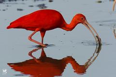 Scarlet Ibis (Kevin Sammy) Tags: red food fish bird crimson ngc ibis national trinidad bloodred