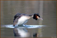 Grbe hupp ( Podiceps cristatus ) (norbert lefevre) Tags: oiseau plumage gouttelettes grbe hupp