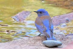Western Bluebird (male) (2933) (Bob Walker (NM)) Tags: usa newmexico male bird losalamos westernbluebird sialiamexicana webl