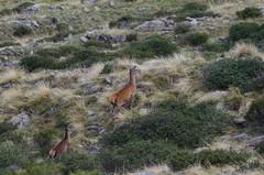 Female deer (Morze.Stefano) Tags: red deer rosso cervo cervus elaphus remale