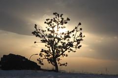 Tree (laedri52) Tags: sun tree turkey trkiye turkiye erzurum gne aa eastofturkey