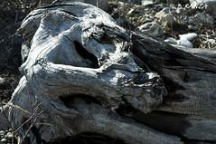 Placnosaurus Ursus Spelaeus, vgtarien et cavernicole sans aucune vision d'avenir mais sachant se placer ! (B.RANZA) Tags: politique bois dinosaure capitalisme ursusspelaeus boismort jeanvincentplac