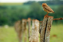 An Owl looking me over the Fence - Jata - Brazil. (monsieurlazaro - Pas trs prsent!) Tags: o oldfence bestcapturesaoi elitegalleryaoi brasiliansbirds owlslooks jatagois