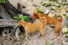 Monkey, Mama, Rocky, Jackfruit ,, (Jon in Thailand) Tags: dog tree monkey nikon rocky mama banana jungle nikkor jackfruit k9 d300 175528 littledoglaughedstories