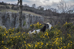 Mountain Goat (Simon Maisie Photography) Tags: goat wild wildlife animal nikon d7200 cheddar cheddargorge southwest somerset nature flowers gorge colour explore england english europe european britain unitedkingdom uk digital mountain photographs for sale wwwsimonmaisiephotographycoukprints