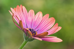 Daisy (mclcbooks) Tags: flowers flower macro floral closeup daisies colorado daisy africandaisy denverbotanicgardens zerenestacker