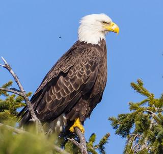Bald Eagle and Bug at NJ shore