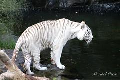 (Maribel Otero) Tags: tigreblanco