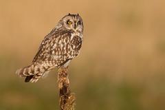 Short-eared owl (Andy Davis Photography) Tags: bird canon owl perched shortearedowl asioflammeus distinguishedraptors