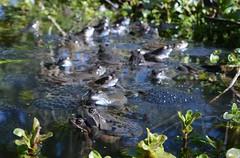 One last frog photo... (willjatkins) Tags: frog frogs urbanwildlife amphibians rana britishwildlife frogspawn gardenwildlife ranatemporaria commonfrog ukwildlife gardenponds britishamphibians hertfordshirewildlife frogsspawning britishreptilesandamphibians ukamphibiansandreptiles ukreptilesandamphibians ukamphibians britishamphibiansandreptiles gardenpondwildlife hertfordshireamphibians wildlifeofgardenponds ukherpetofauna
