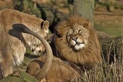 Löwe (Michael Döring) Tags: gelsenkirchen bismarck zoomerlebniswelt zoo löwe lion sp150600 d7200 michaeldöring inexplore
