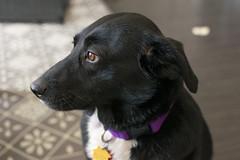 Betsy. (jammoo5) Tags: dog white black mix canine bordercollie aussie australianshepherd