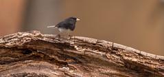 Janco (vernonbone) Tags: birds nikon sigma 500mm eastpoint d3200 april2016
