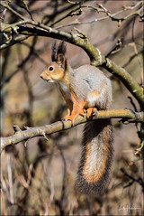 Red squirrel (hakoar) Tags: pattern animalia tail redsquirrel nature plant ears fur tuft brown sitting rodentia animal rodent looking leg colorful wildlife grey vivid sciurusvulgaris eurasianredsquirrel squirrel closeup fauna eye portrait mammal stance pose espoo finland fi curious