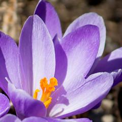 Crocus (Pauline Brock) Tags: flower nature floral spring purple lavender crocus bloom springflower