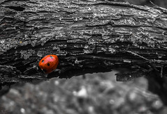 In the world of ladybug... (Hasan Yuzeir) Tags: world red white black macro insect phone walk samsung galaxy ladybug hasanyuzeir
