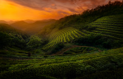 Away from the Tourists, v.2 (TheLostLens.co.uk) Tags: sunset plant tree field landscape asia tea terrace dusk farmland trail plantation agriculture greentea southkorea hdr  teaplantation lightbleed    boseong   jeollanamdo exposureblend    glamourglow