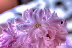 spring. (minoltanikon) Tags: fleur spring nikon alsace printemps jacinthe hyacinthus d700 naturepaysage